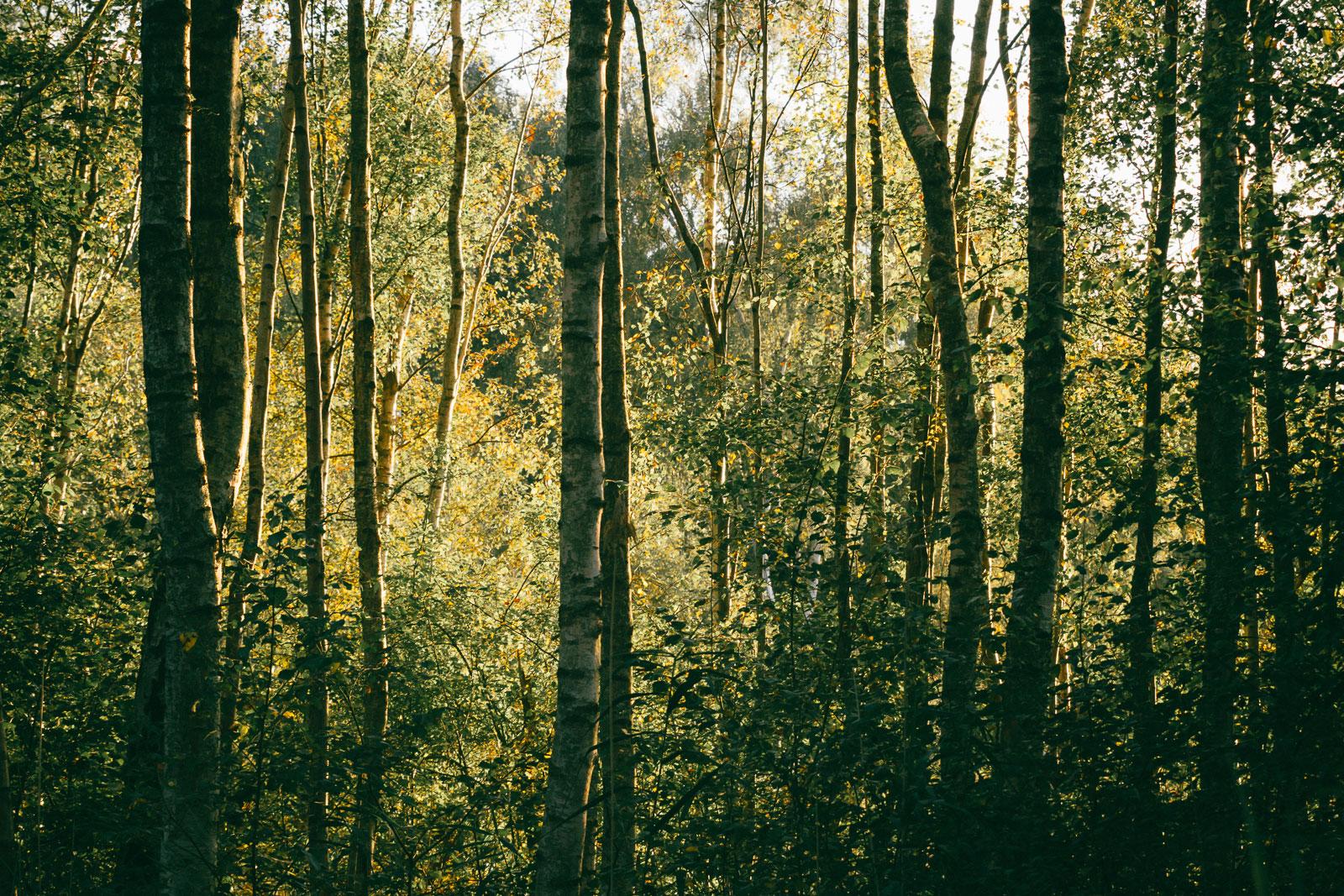 Holme Fen birches, forest, trees