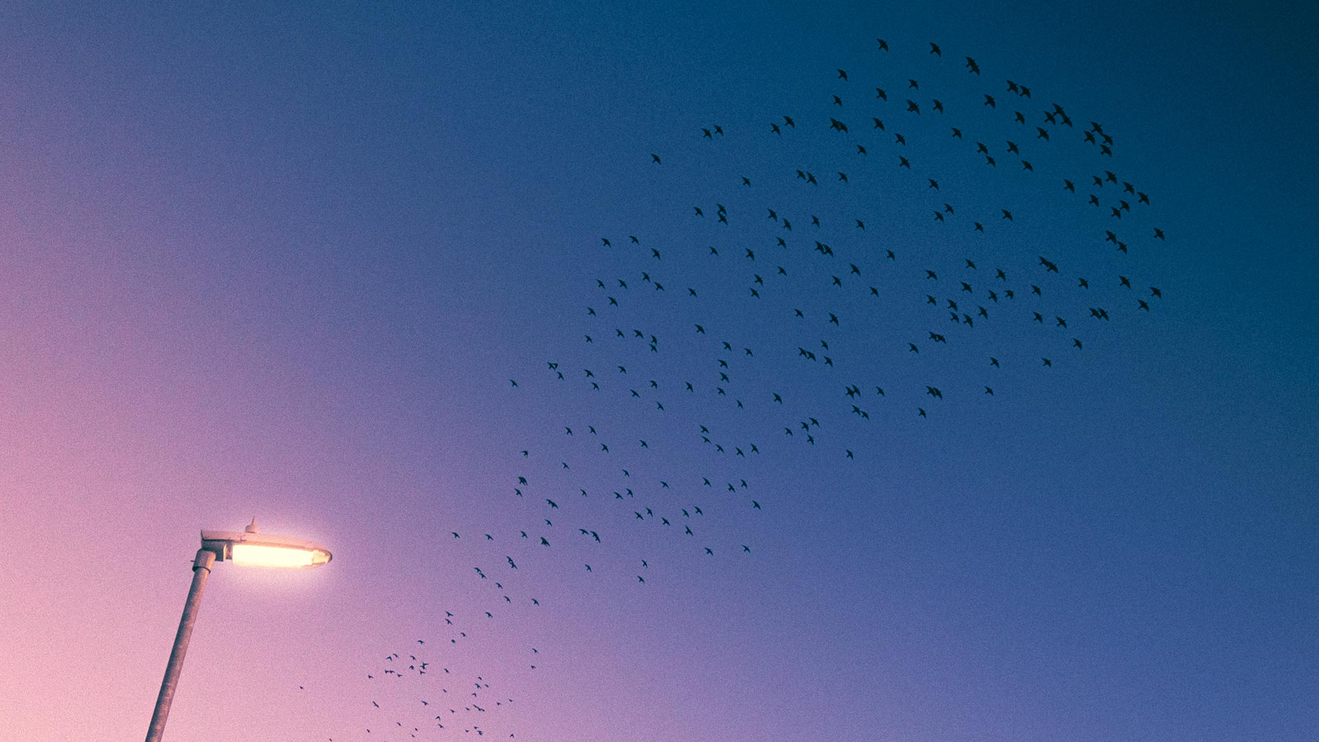 Sunset Starlings