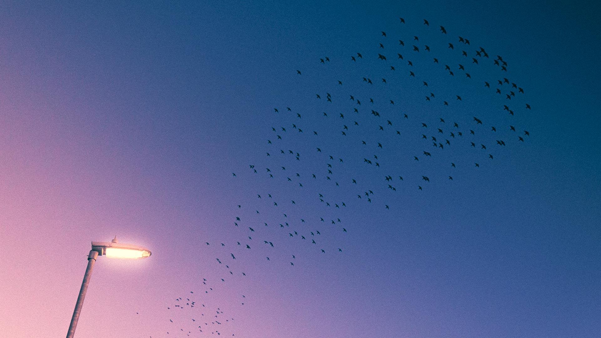 Sunset Starlings