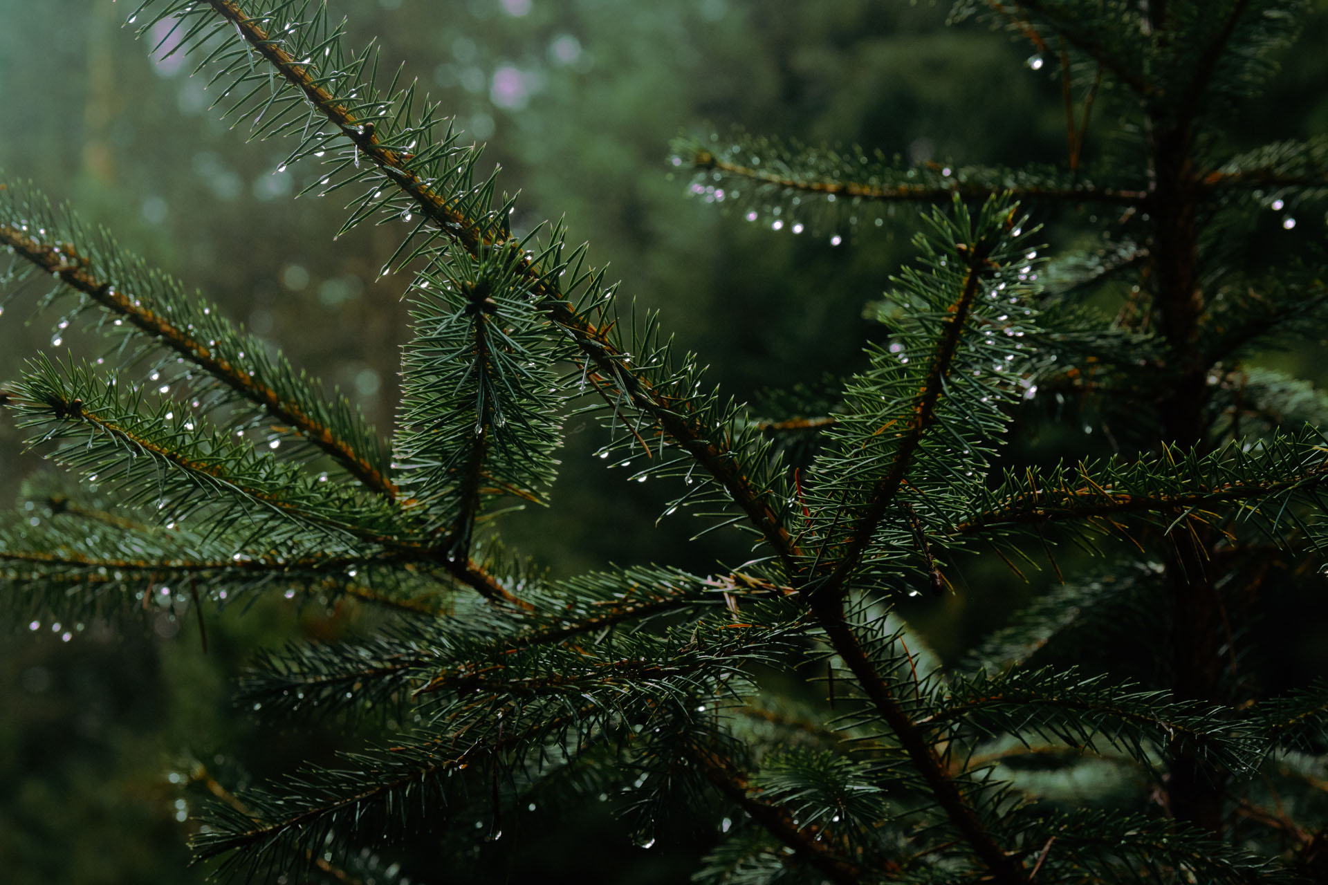 pine-needles-with-rain