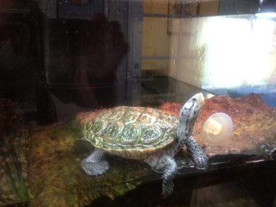 A Tale of Two Turtles