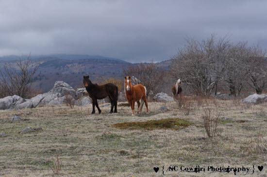 Wild Ponies at Mt. Rogers