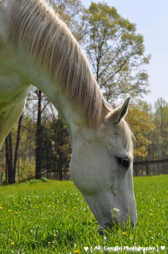Jet - White Quarter Horse
