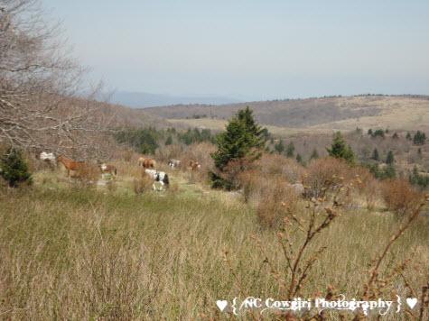herd of Wild Ponies at Mt. Rogers