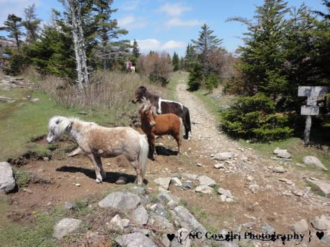 Wild Ponies of Mt. Rogers