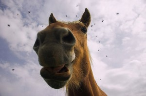 Horse with Flies