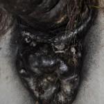 Tumors in Horse Anus