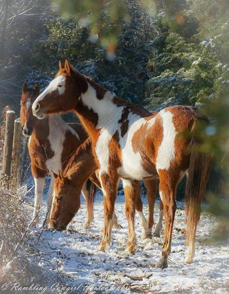 Horses in Snow