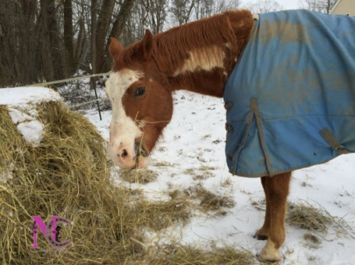 paint horse eating hay in snow