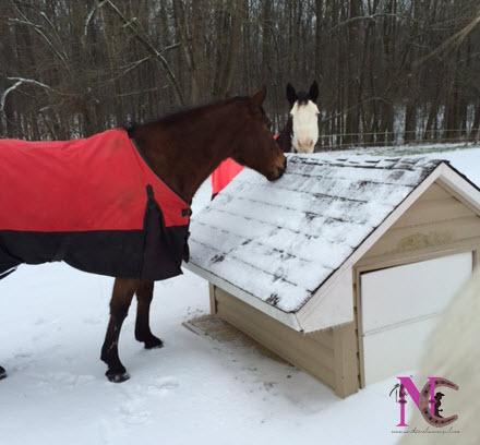 horses eating snow