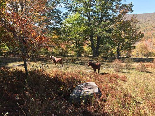 wild ponies of VA