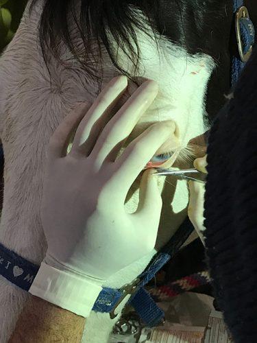 squamous cell carcinoma tumor on horse eyelid
