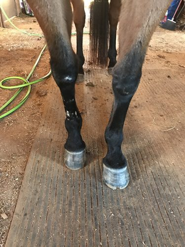 Fresh barefoot trim on horse hoofs
