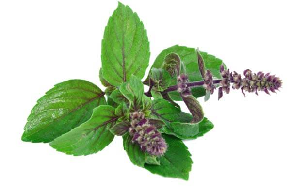 tulsi to eliminate toxins from the body