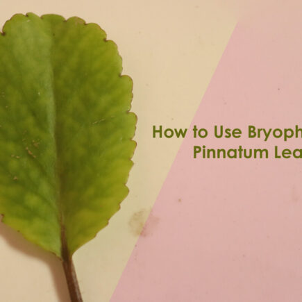 How to Use Bryophyllum Pinnatum Leaf and What are the Benefits for Health