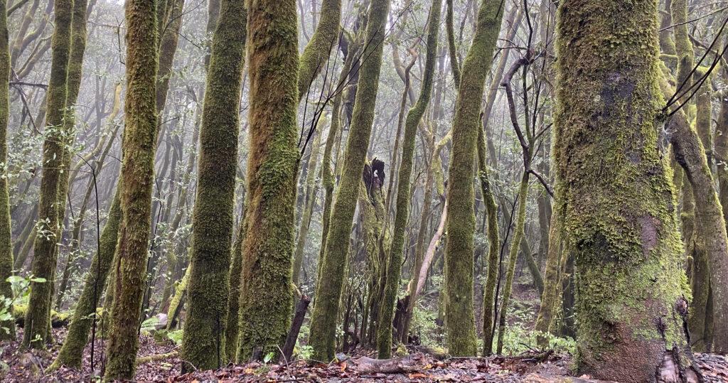 Het nevelige oerbos van Laurierbomen