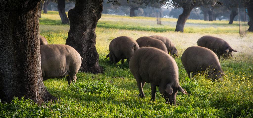 Scharrelende varkens tussen de steeneiken