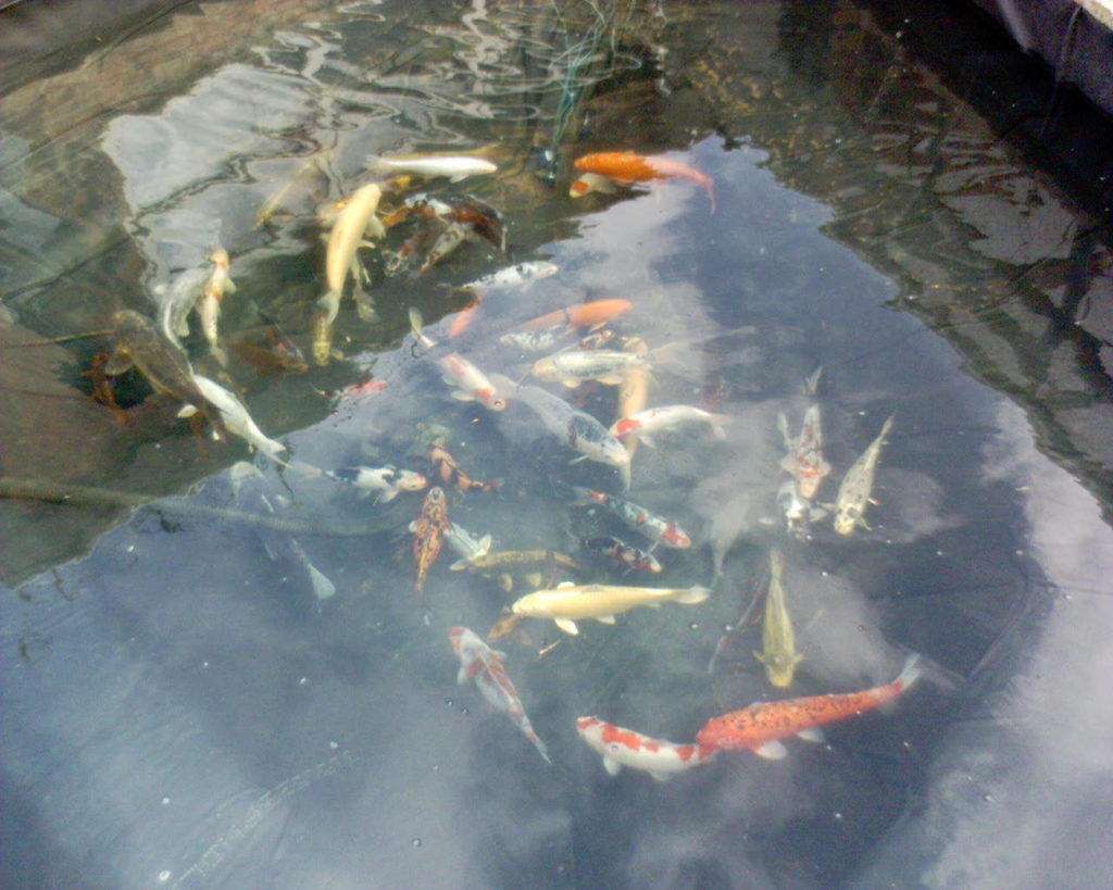 keeping a fish pond clean, makes all the difference.
