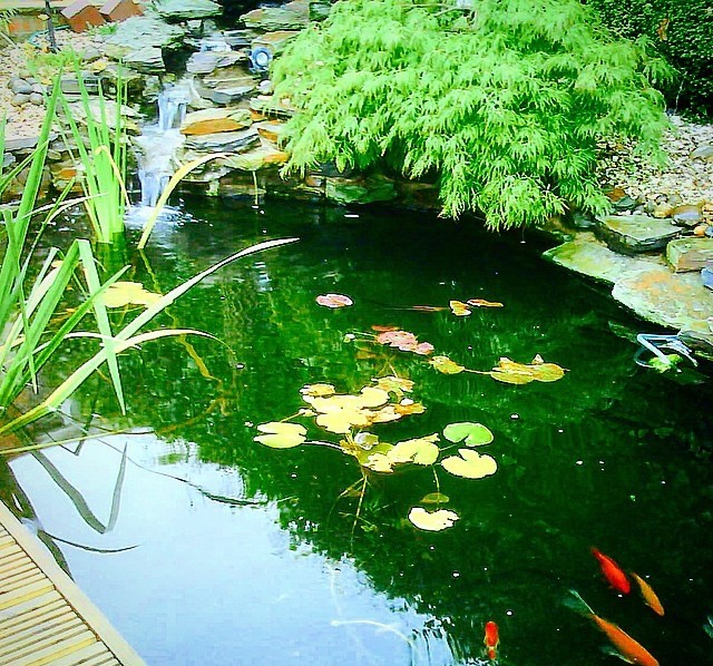 Photo of pond with water feature, rockery, plants and goldfish