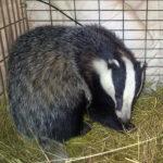 badger 2