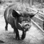 pig bw
