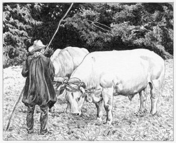 Oxen in Brittany