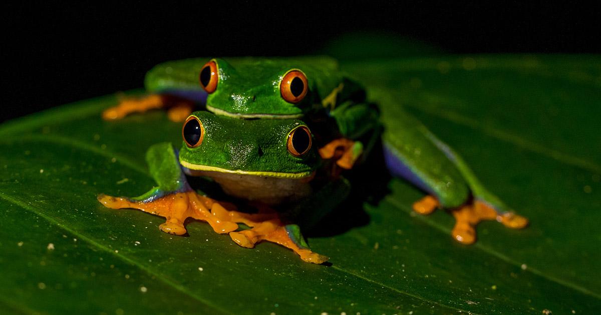 Frogs leap frogging