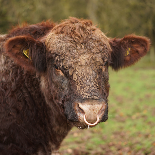 Beef Shorthorn