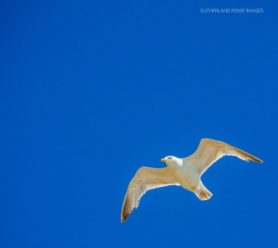 Seagull on blue sky Sutherland Rowe Images