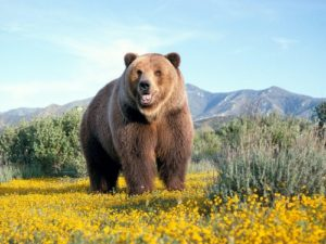 Bear-Wallpaper-bears-31446783-500-375