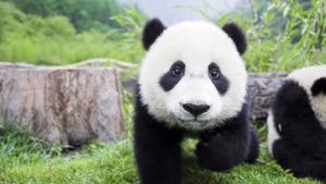 Cute-Panda-Wallpaper-HD-1920x1080-8