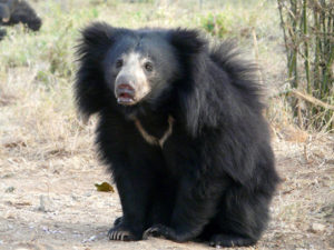 Indian-Sloth-bear