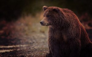 big-brown-bear-wallpaper-650x406