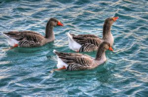 geese-210656_960_720