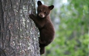 photo-of-a-brown-bear-climbing-in-a-tree-hd-bears-backgrounds