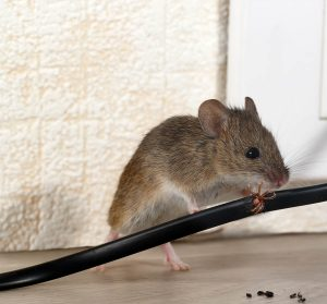 DSY Pest Control Derbyshire South Yorkshire Mice Mouse Services Top Content Image JPG 001