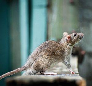 DSY Pest Control Derbyshire South Yorkshire Rat Services Top Content Image JPG 001