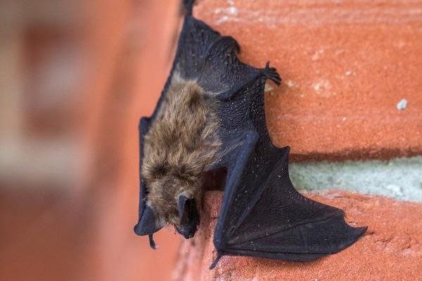 Bat mites - DSY Pest control services