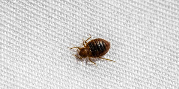 Bed bug treatment Chesterfield - DSY Pest control services