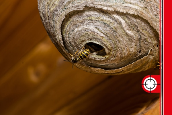 Wasp Nest in Dronfield. DSY Wasp Nest Removal Services.