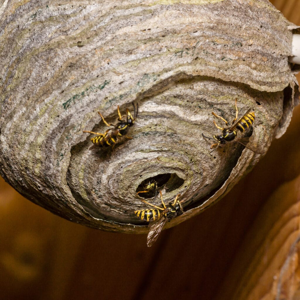 Wasp nest Chesterfield - wasp nest treatment. Derbyshire and South Yorkshire Pest Control.