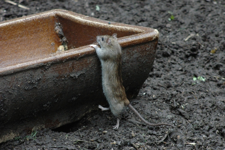 Rat in garden. Rat control. Rodent removal Chesterfield.