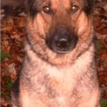 Retired German Shepherd