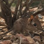 Good News for Elephant Shrews