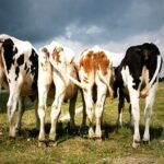 Cows' Methane Problem and its Seaweed Solution