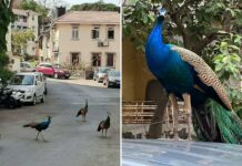 Peacocks were spotted at Khareghat Colony in Mumbai.