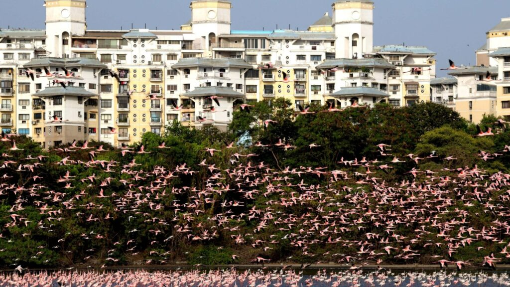 Thousands of flamingos have gathered in the city of Navi Mumbai.