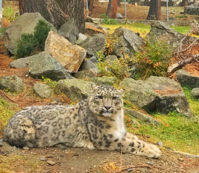 Snow-leopard-in-Naltar-Valley