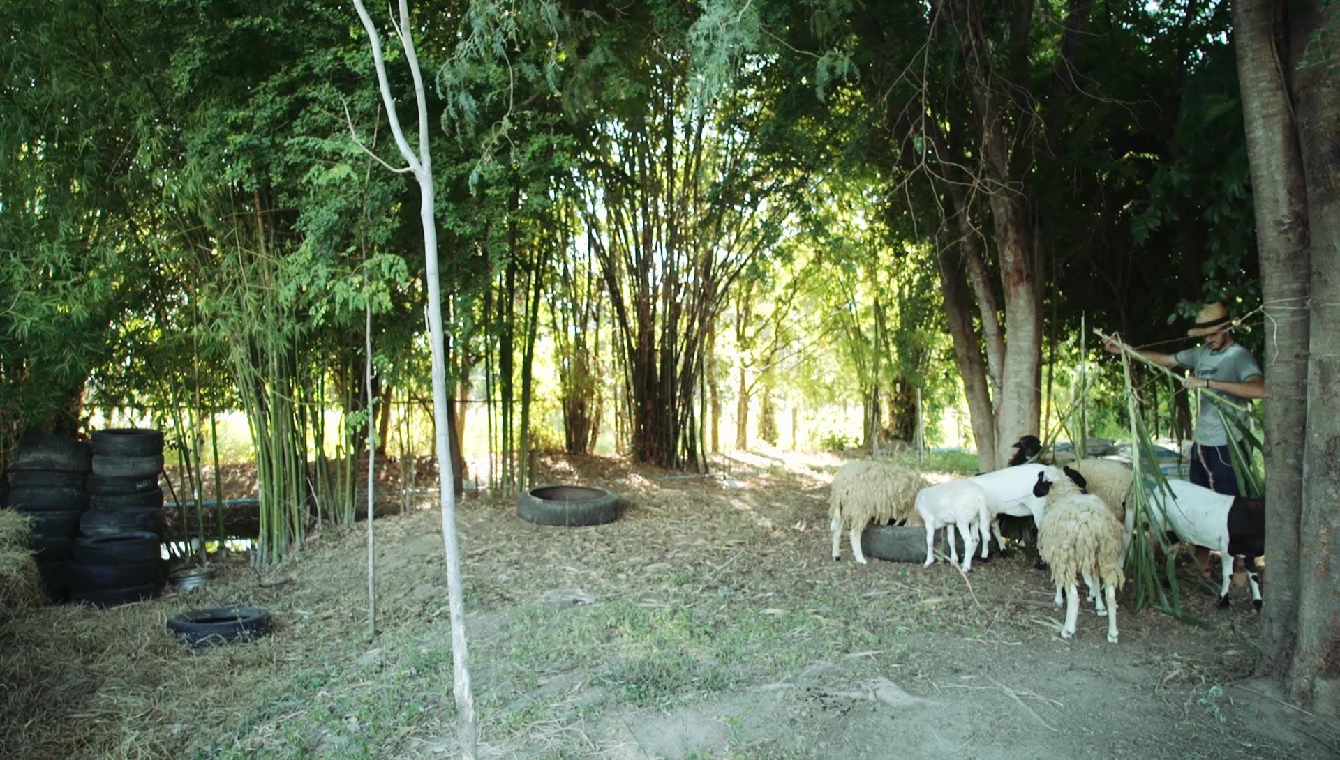 Integrated animal systems at Daruma eco-farm