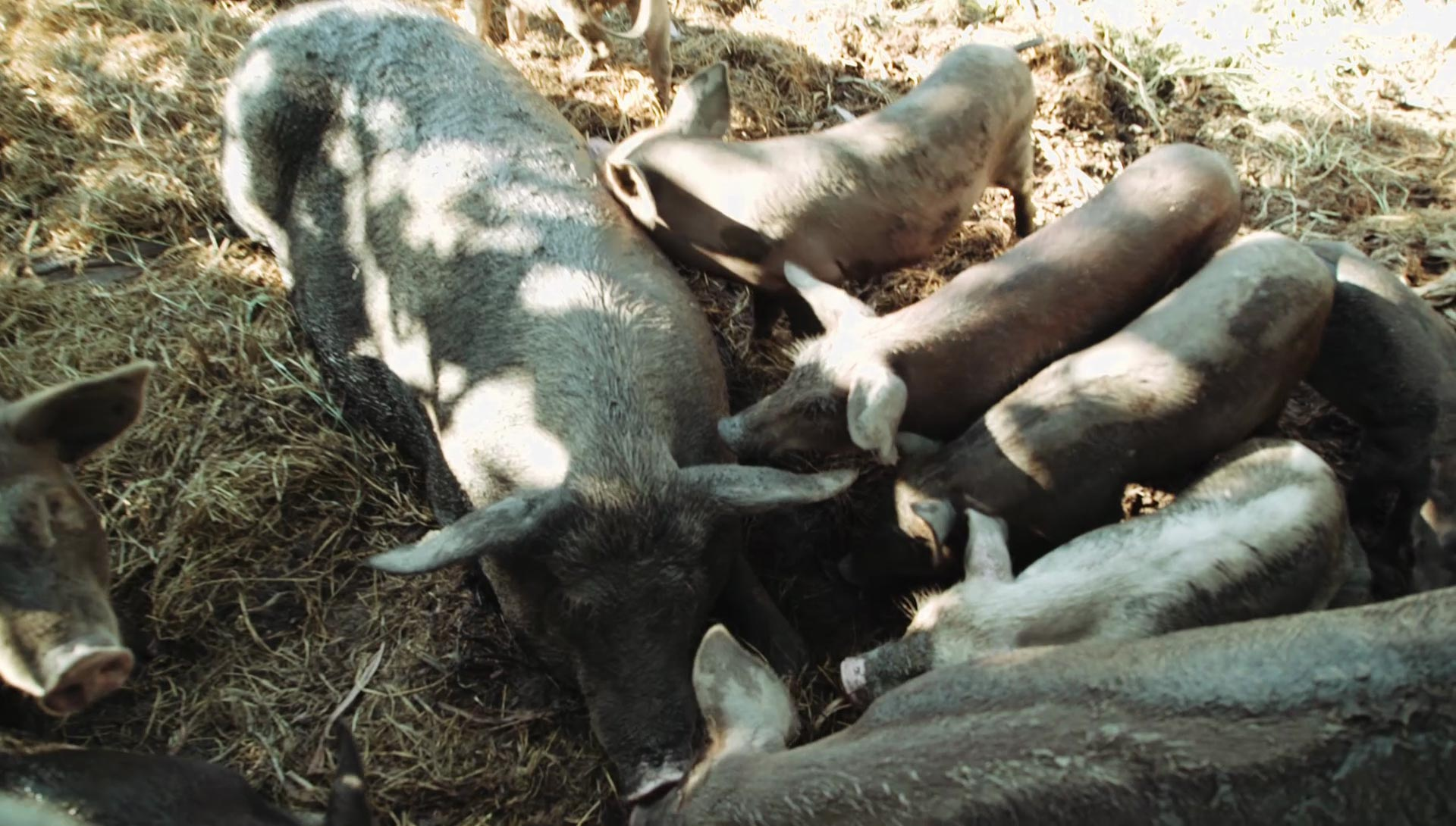 You may see pigs and other integrated animal systems during your permaculture course in Thailand